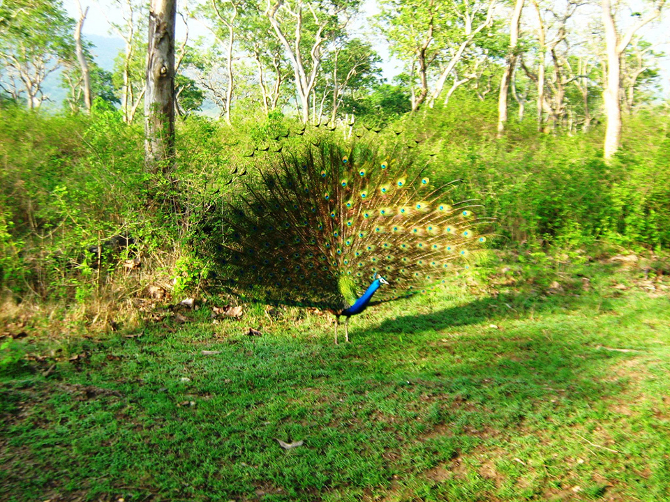 Peacock_at_Mudumalai