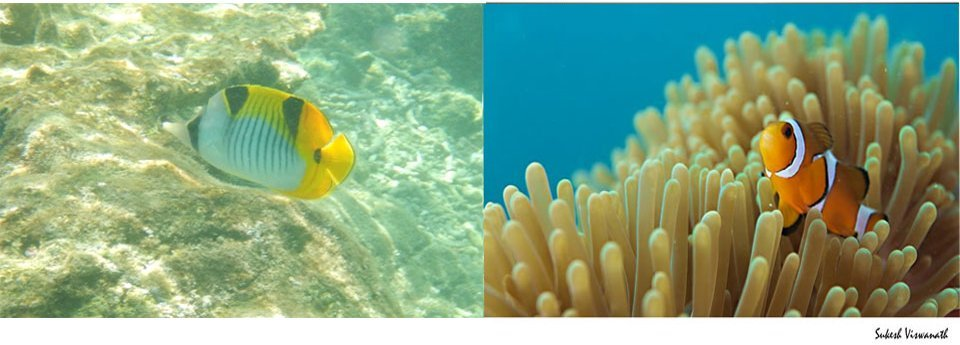 Maldives Snorkeling Clown Fish