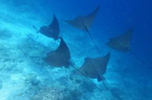 stingray snorkeling embudu island beach resort maldives