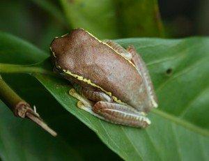 Small Tree Frog Malabar Winged Frog