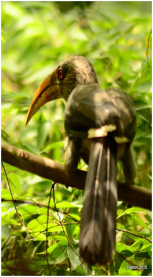 hornbills02