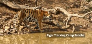 Tiger Tracking Camp Tadoba